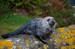 Common Seal, Glengarriff